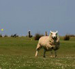 Royal North Devon Golf Club - Sheep